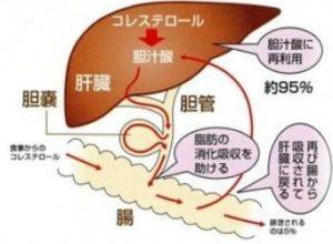 胆汁酸の働き