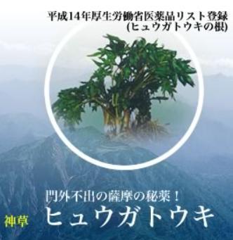 ヒュウガトウキ(日本山人参)とは?