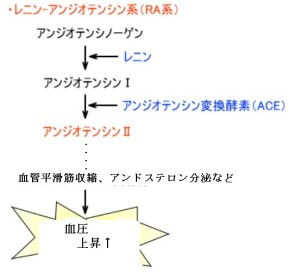 レニン・アンジオテンシン系(RA系)