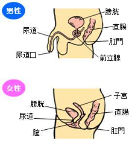 男女の尿道の長さ