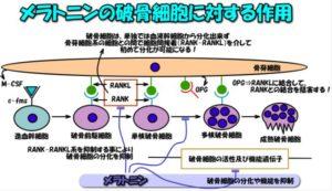 破骨細胞を抑えるメラトニン