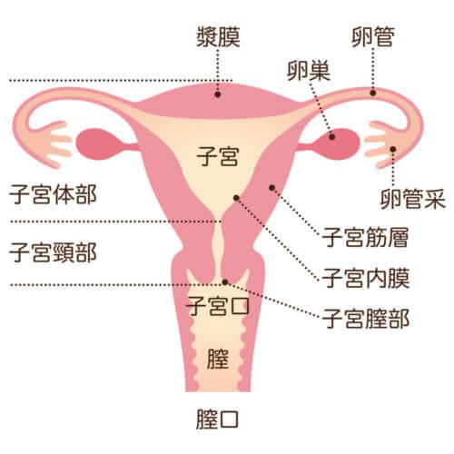 子宮 女性のからだ