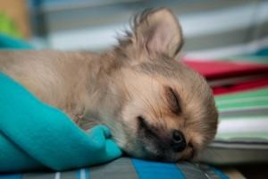 犬も低体温